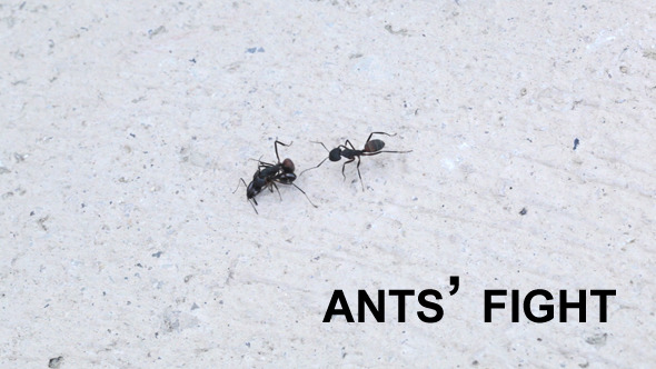 Ants Fighting 1