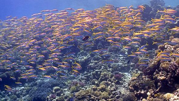 Shoal of Yellow Fish on Coral Reef Red sea
