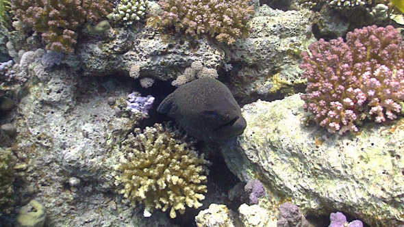 Murena on Coral Reef Red sea