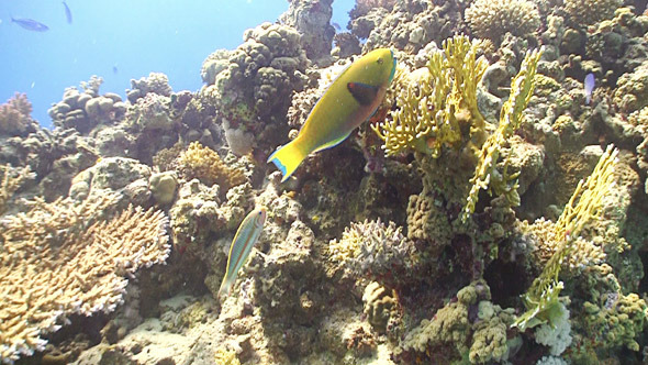 Colorful Fish on Coral Reef Red Sea 8