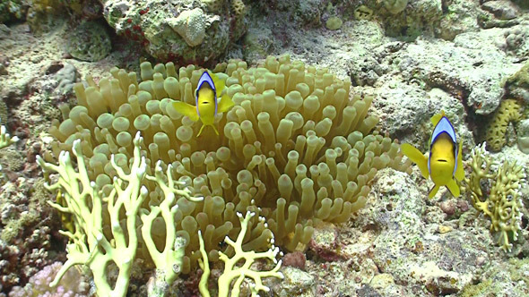 Clown Anemonefish on Coral Reef Red Sea 2