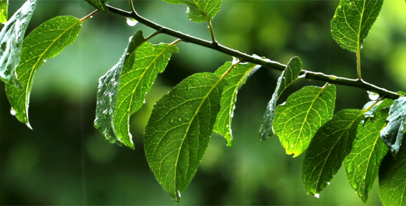 Rain Drops And Green Leaves