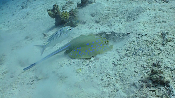Blue Spotted Stingray Swims On The Coral Reef Red 3