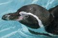 Magellanic Penguin - PhotoDune Item for Sale