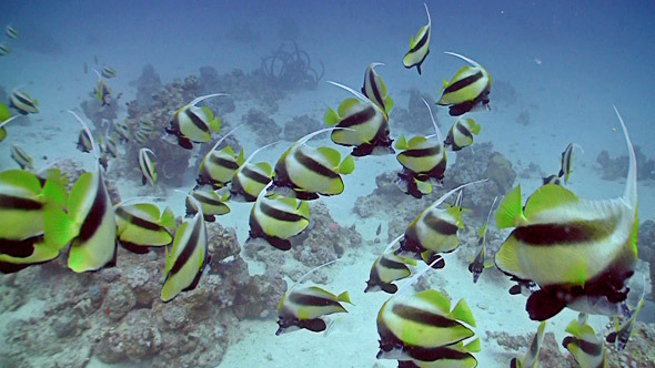 Bannerfish On Coral Reef Red Sea 2