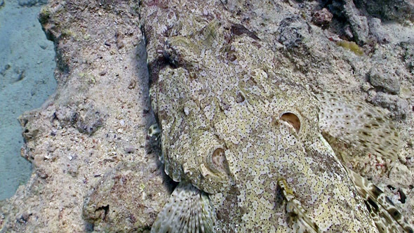 Crocodile Fish On Coral Reef Red Sea 2