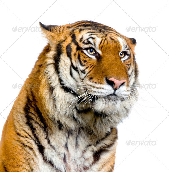 Stock Photo - PhotoDune Tiger's face 245553