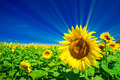 Fine sunflowers and fun sun in the sky. - PhotoDune Item for Sale