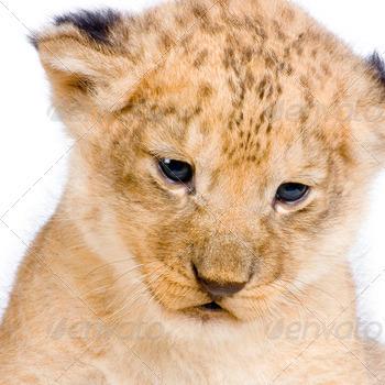 Lion Cub's c