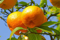 Ripe oranges on tree - PhotoDune Item for Sale