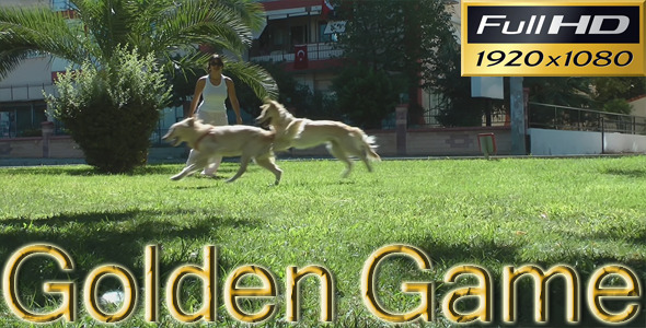 Golden Retriever s Playing In The Park HD