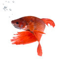 Siamese fighting fish - PhotoDune Item for Sale