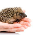 hedgehog (1 mounths) - PhotoDune Item for Sale