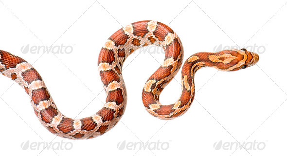 Stock Photo - PhotoDune Corn Snake 249655