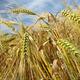 Barley - PhotoDune Item for Sale