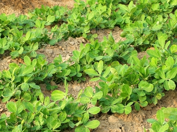 Vegetable Patch with Fresh Greens - Stock Photo - Images