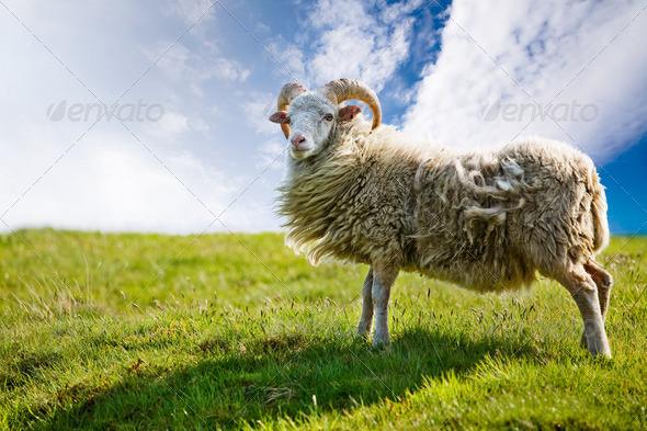 PhotoDune Sheep 254949