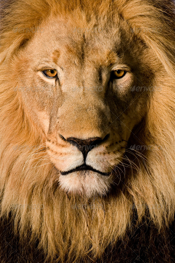 Stock Photo - PhotoDune Close-up on a Lion's head 4 and a half years Panthera leo 256300