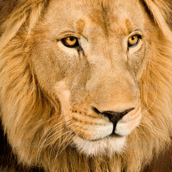 Stock Photo - PhotoDune Close-up on a Lion's head 4 and a half years Panthera leo 256302