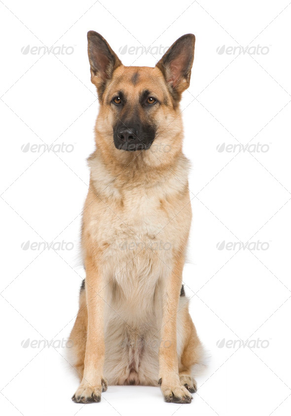 german shepherd (2 years) - Stock Photo - Images