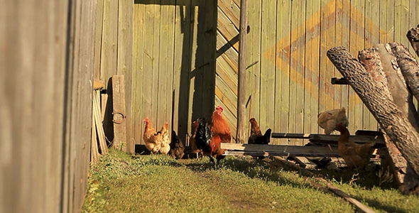 Chickens In Countryside 2