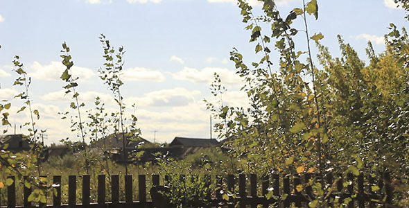 Old Fence And Birch Leaves In Village