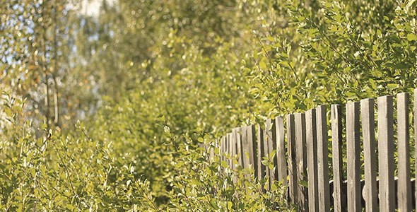 Old Wooden Fence And Birch Leaves