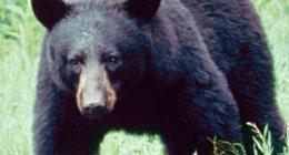 Björnen