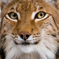 Close-up of Eurasian Lynx, Lynx lynx, 5 years old - PhotoDune Item for Sale