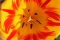 Tulip - PhotoDune Item for Sale