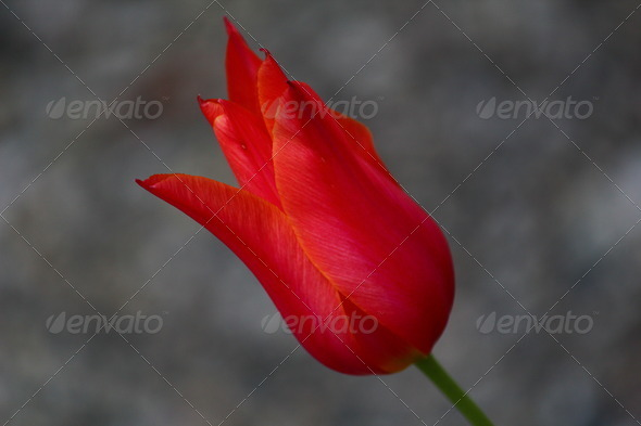 Tulip - Stock Photo - Images