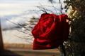 Rose - PhotoDune Item for Sale