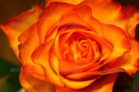 Roses - Stock Photo - Images