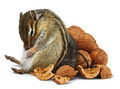 Funny overeating chipmunk with nuts - PhotoDune Item for Sale