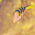 The blacksaddle filefish - PhotoDune Item for Sale