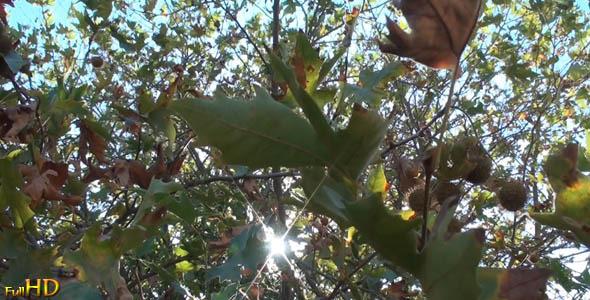 Under a Plane Tree