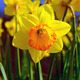 Spring Daffodil - PhotoDune Item for Sale