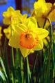 Spring Daffodil - PhotoDune Item for Sale
