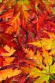 Fall Leaves - PhotoDune Item for Sale