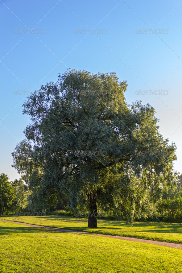 single willow tree - Stock Photo - Images