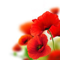 poppies flowers background - frame - PhotoDune Item for Sale