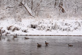 Canadian Geese on Winter River - PhotoDune Item for Sale