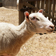 Bleating Sheep - PhotoDune Item for Sale