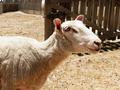Bleating Sheep - PhotoDune Item for Sale