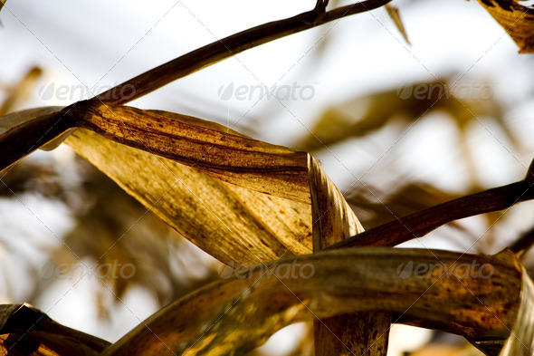 Corn in farm - Stock Photo - Images