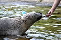 Seal being fed - PhotoDune Item for Sale