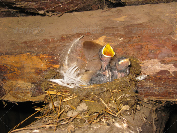 Nest of a swallow with nestlings - Stock Photo - Images