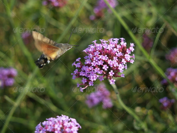 hummingbird moth - Stock Photo - Images