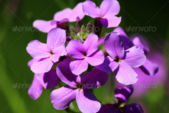 Purple Wildflowers - Stock Photo - Images