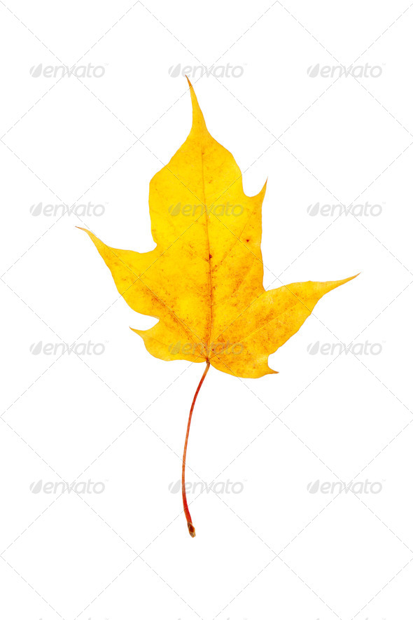 Dry yellow autumn maple leaf - Stock Photo - Images
